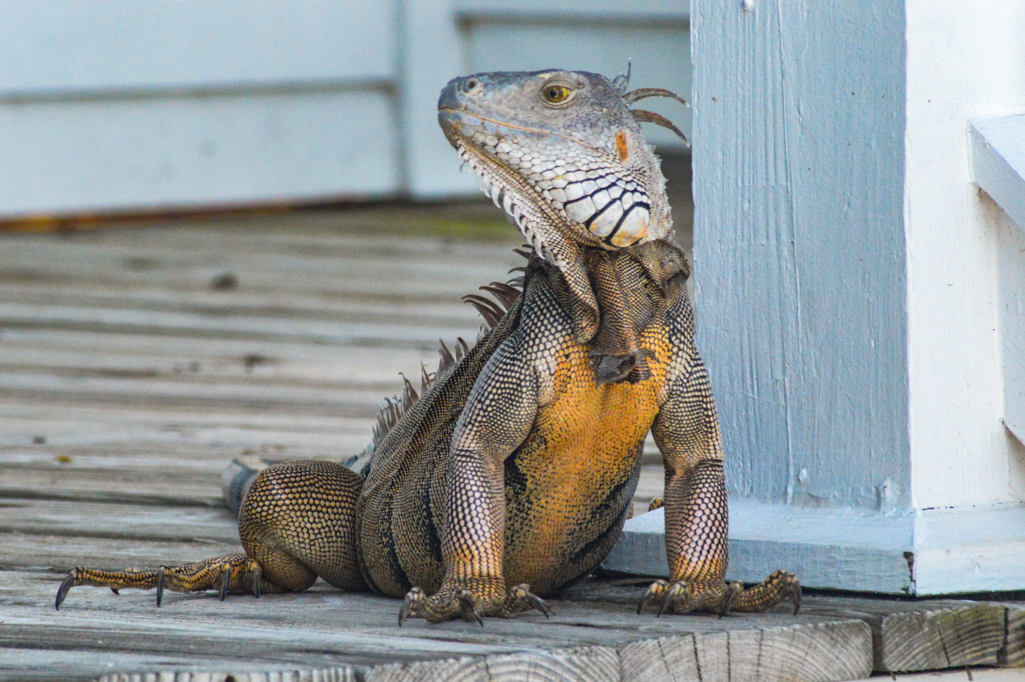 lizard sitting on owner's porch