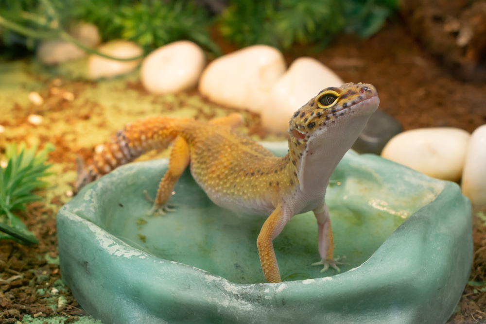 Pet lizard in water dish